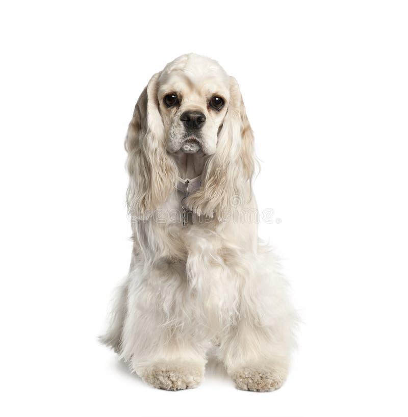 Retrato del americano Cocker Spaniel, de 1 año imagenes de archivo