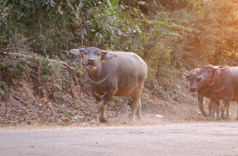 retrato del búfalo del niño que sonríe y que mira la cámara Tailandia imagen de archivo