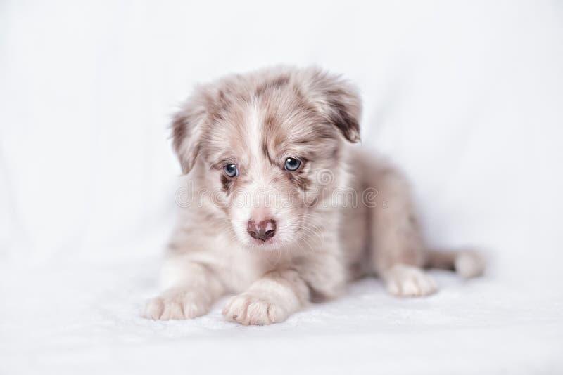Retrato del border collie del perrito foto de archivo
