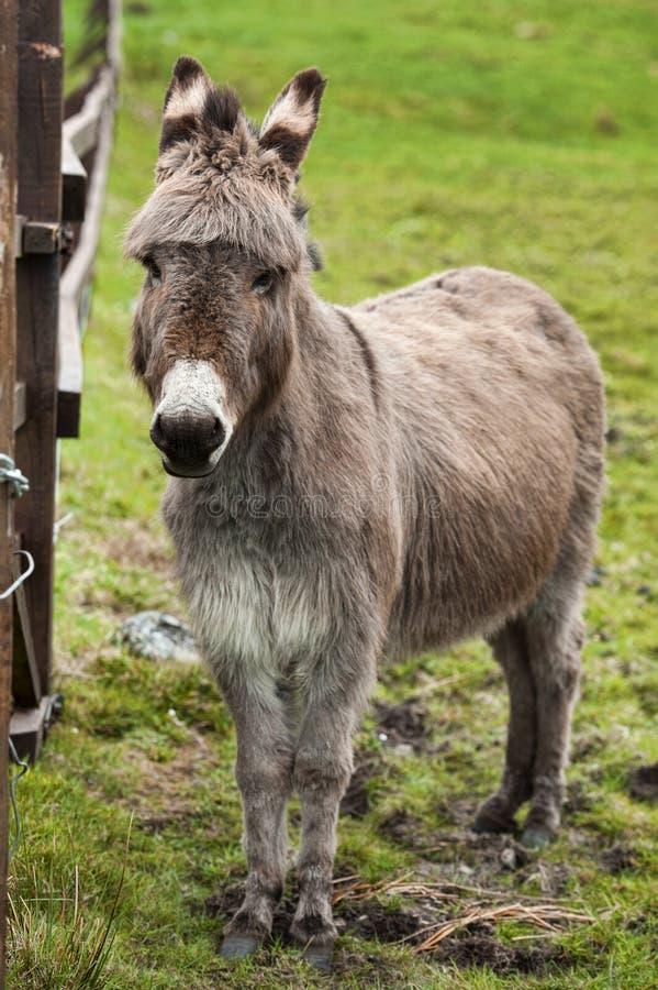 Retrato del burro en prado foto de archivo