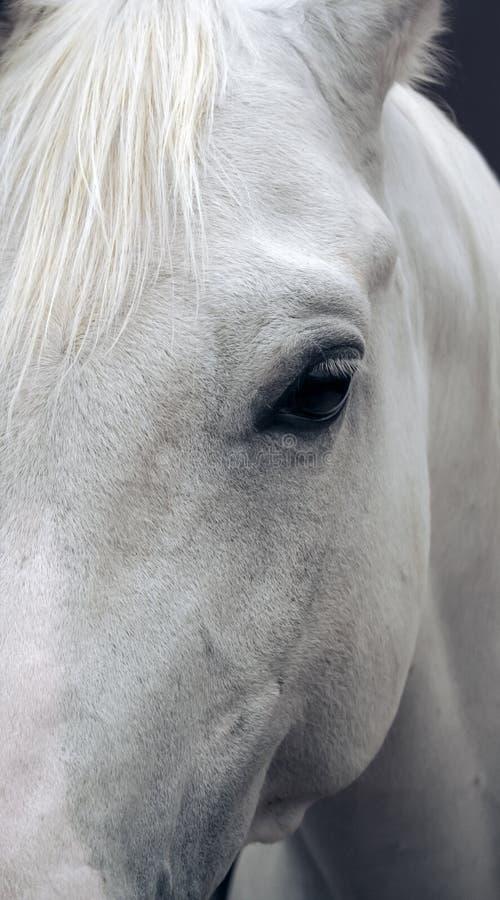 Retrato del caballo árabe imagenes de archivo