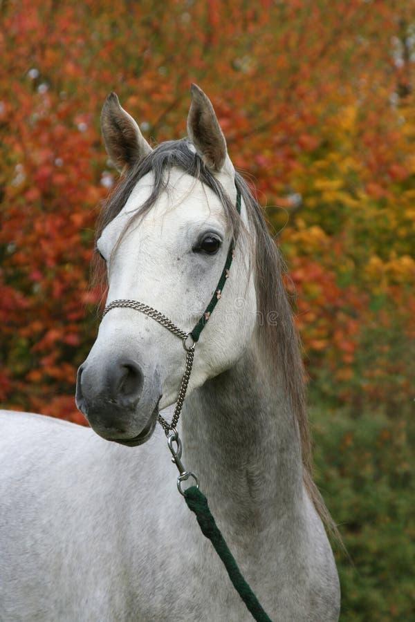 Retrato del caballo árabe imagen de archivo libre de regalías
