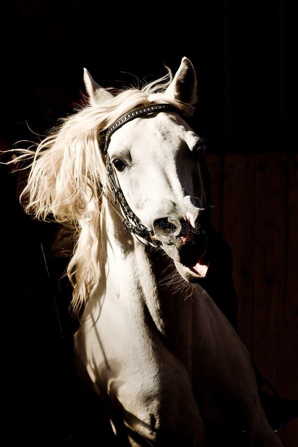 Retrato del caballo árabe imágenes de archivo libres de regalías