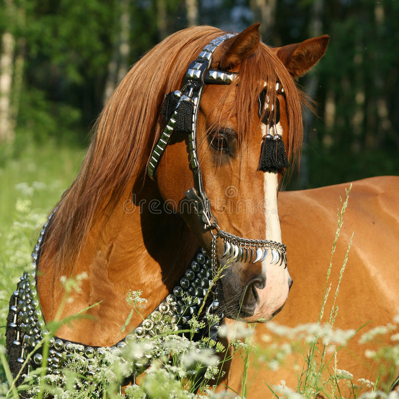 Retrato del caballo árabe de la castaña con el arnés perfecto imagen de archivo libre de regalías