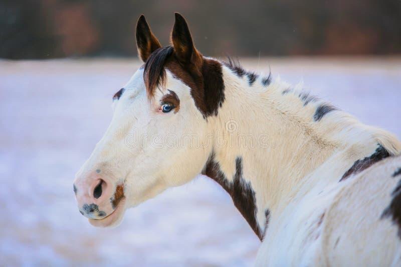 Retrato del caballo blanco y marrón hermoso de la pintura imágenes de archivo libres de regalías