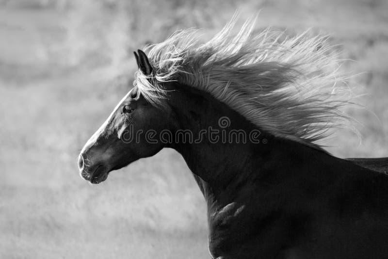 Retrato del caballo con la melena larga foto de archivo