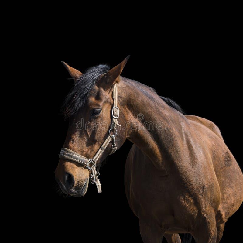 Retrato del caballo de bah?a sobre un fondo negro Cabeza de caballo hermosa del primer aislada en fondo oscuro El caballo de la c fotos de archivo libres de regalías