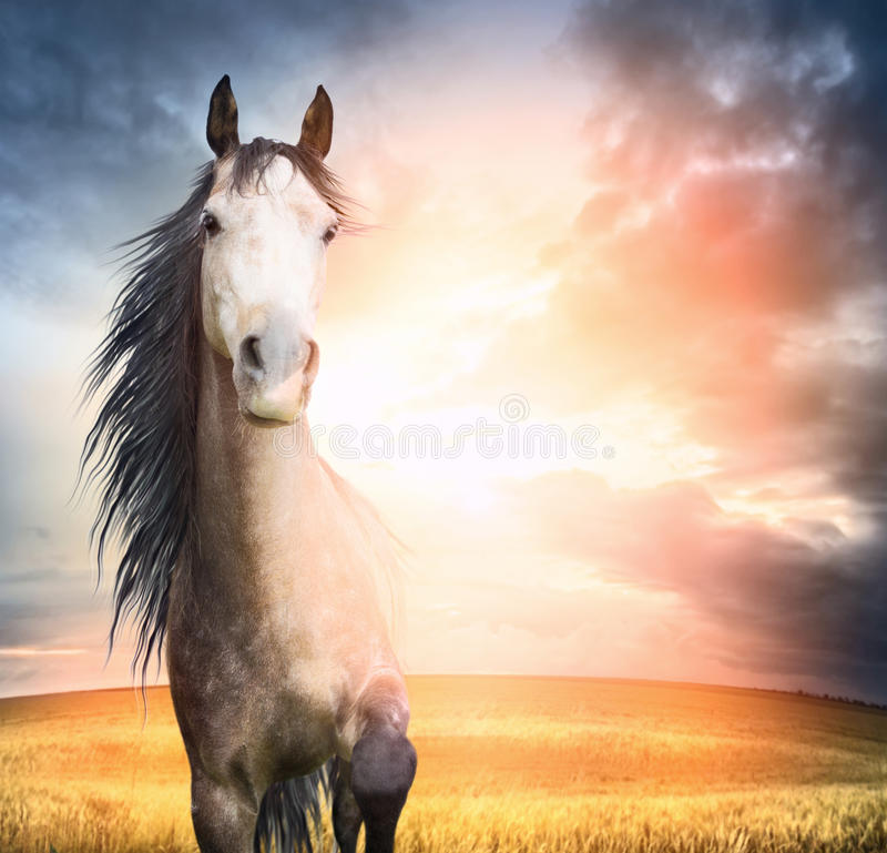 Retrato del caballo de Brown con la melena y la pierna aumentada en puesta del sol fotografía de archivo libre de regalías