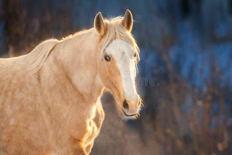 Retrato del caballo de Cremello fotografía de archivo libre de regalías