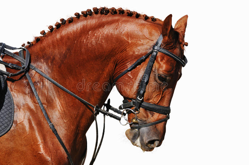 Retrato del caballo de la castaña aislado en blanco imagenes de archivo
