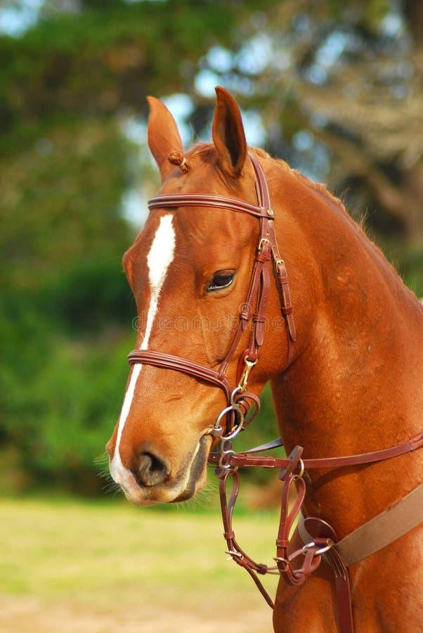 Retrato del caballo del alazán imágenes de archivo libres de regalías