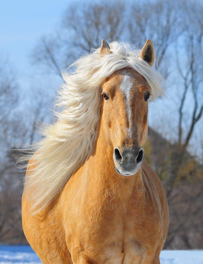 Retrato del caballo del Palomino en el campo en la acción imagenes de archivo