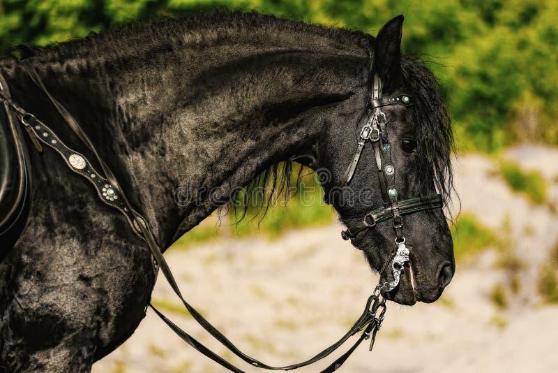 retrato del caballo frisio negro en verano fotos de archivo