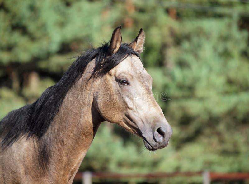 Retrato del caballo joven del dun foto de archivo