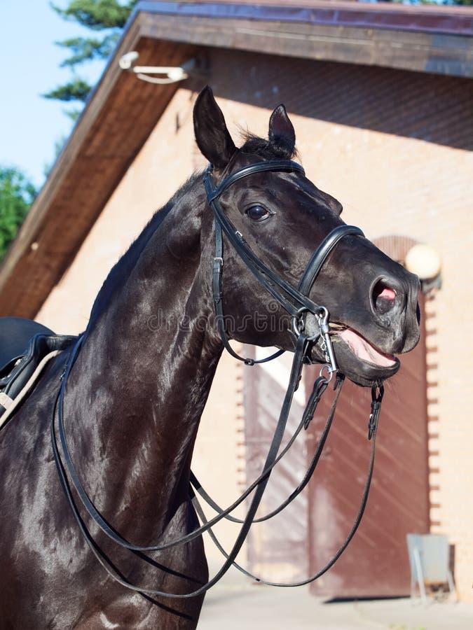 Retrato del caballo del negro del dressage fotos de archivo