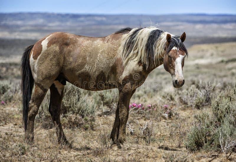 Retrato del caballo salvaje del lavabo de la arena fotos de archivo