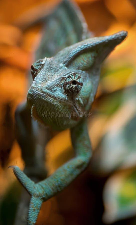 Retrato del camaleón del primer fotografía de archivo