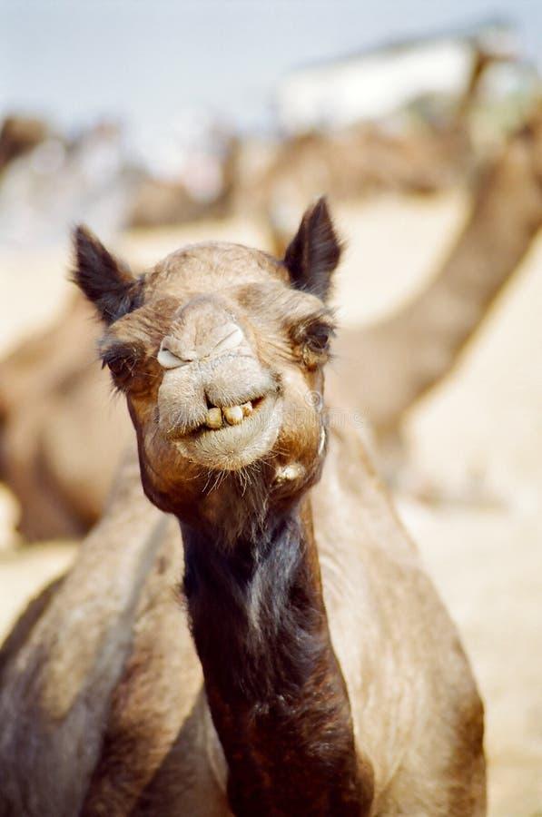Retrato del camello imagen de archivo libre de regalías