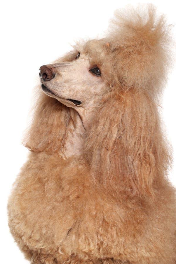 Retrato del caniche estándar del albaricoque fotos de archivo