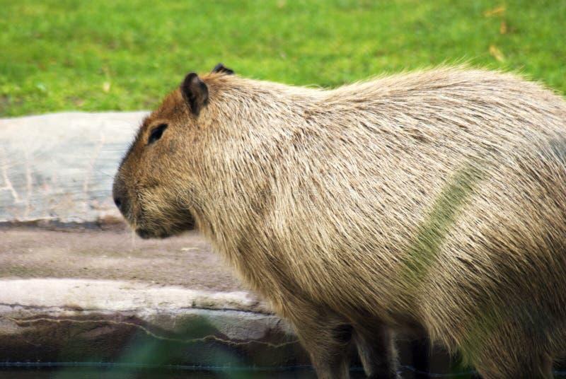Retrato del Capybara imagenes de archivo