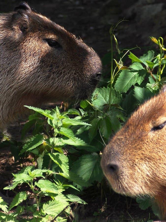 Retrato del capybara, primer fotografía de archivo