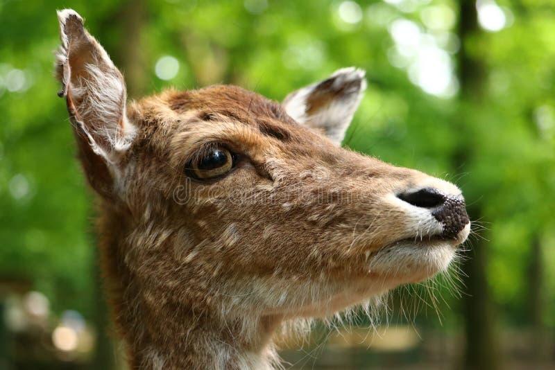 Retrato del Cervidae de los ciervos en barbecho fotos de archivo