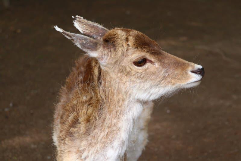Retrato del Cervidae de los ciervos en barbecho fotos de archivo libres de regalías
