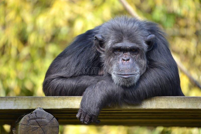 Retrato del chimpancé imagen de archivo libre de regalías