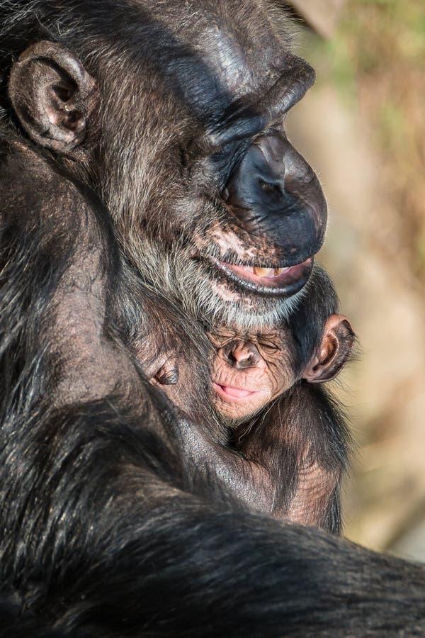Retrato del chimpancé de la madre con su pequeño bebé divertido fotos de archivo