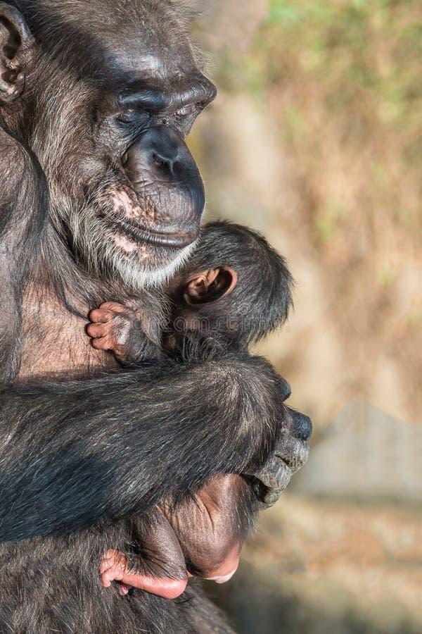 Retrato del chimpancé de la madre con su pequeño bebé divertido fotos de archivo libres de regalías