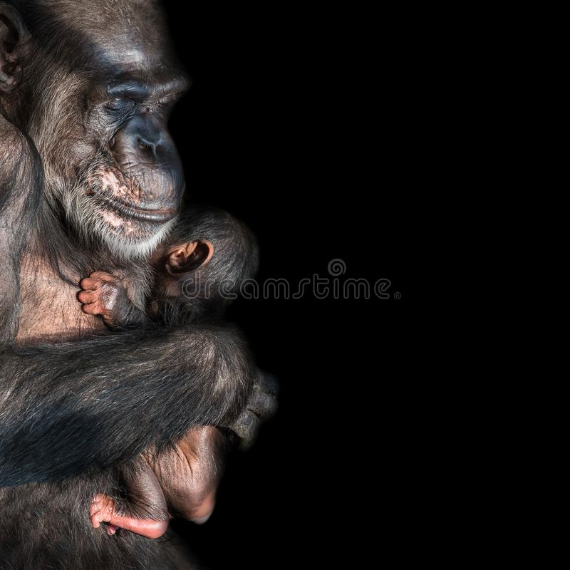 Retrato del chimpancé de la madre con su pequeño bebé divertido en el negro imagenes de archivo
