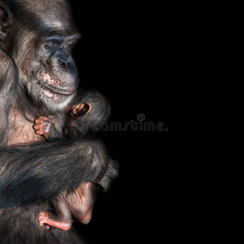 Retrato del chimpancé de la madre con su pequeño bebé divertido en el negro imágenes de archivo libres de regalías