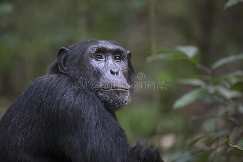 Retrato del chimpancé libre salvaje fotos de archivo