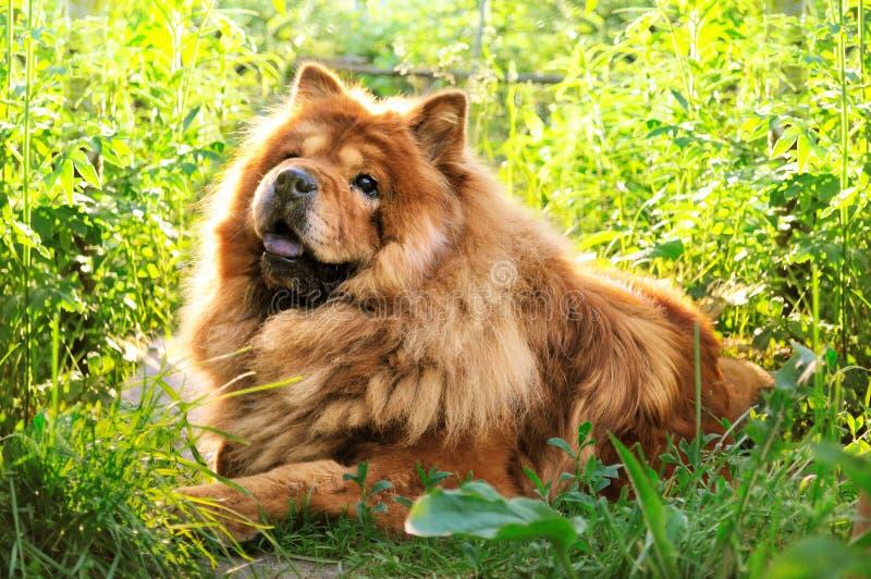 Retrato del chow-chow del perro imagen de archivo libre de regalías