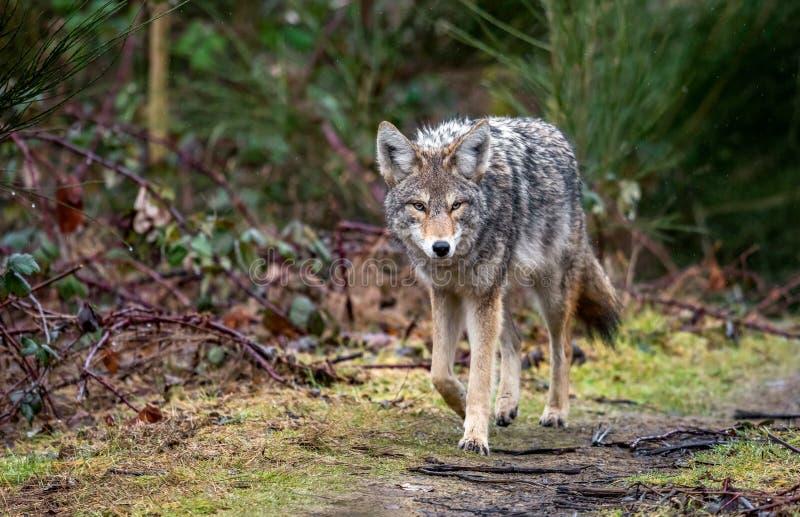 Retrato del coyote en Canadá imagenes de archivo