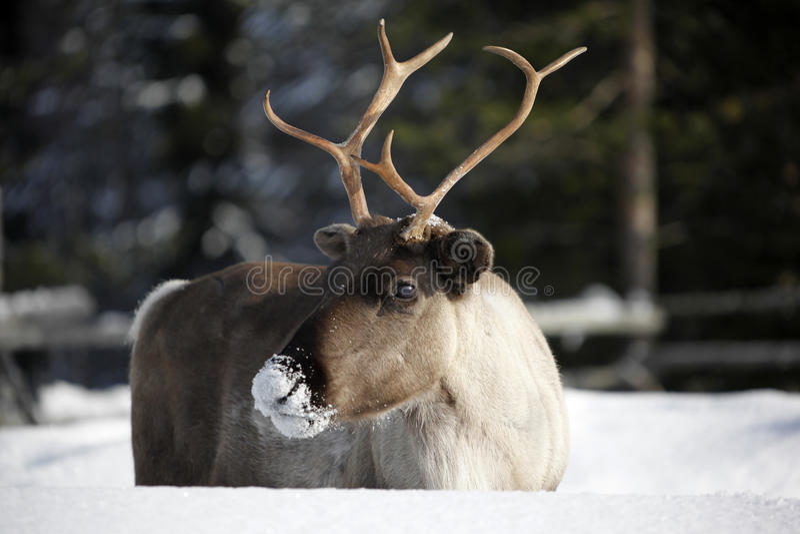 Tarandus del reno/del Rangifer en invierno fotografía de archivo libre de regalías