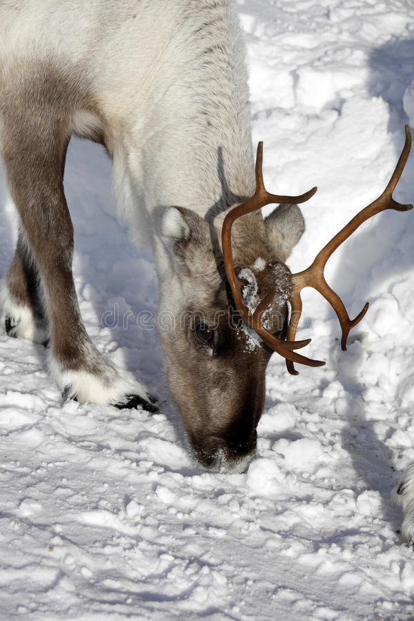 Ciérrese para arriba de un tarandus del reno/del Rangifer en invierno imagen de archivo libre de regalías