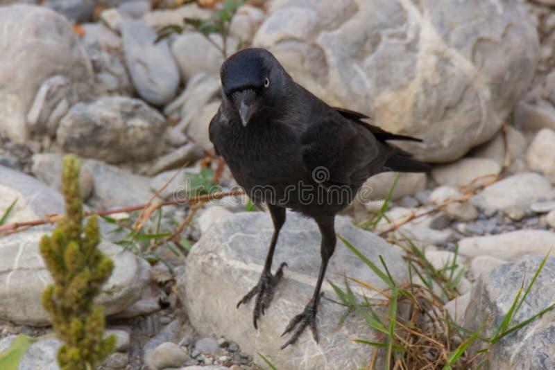 Retrato del cuervo negro fotografía de archivo