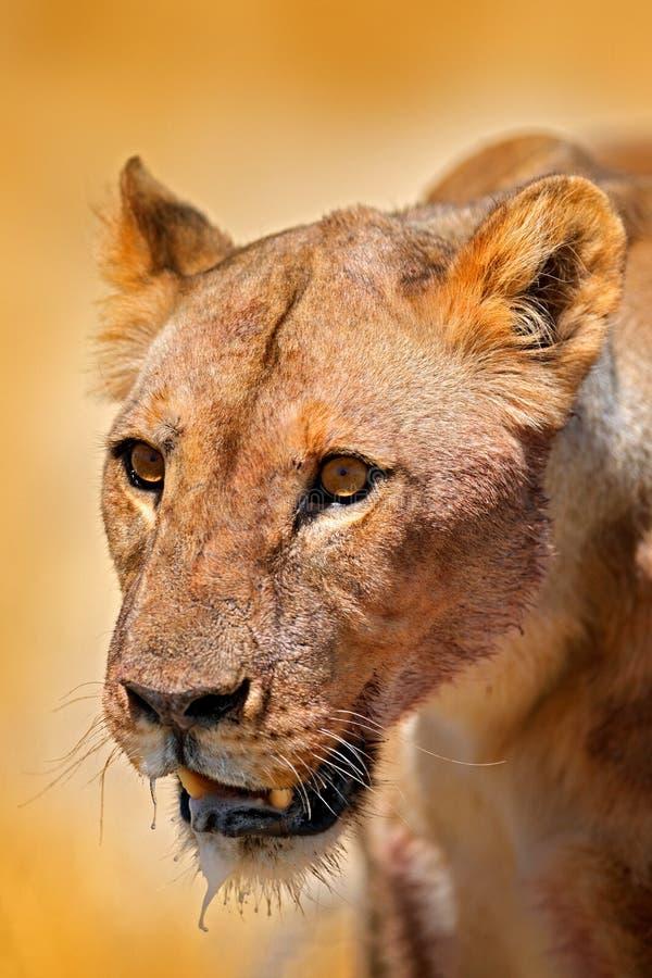 Retrato del detalle de la cara del le?n Bleyenberghi de leo del Panthera en Etocha NP, Namibia, ?frica Comportamiento animal en e foto de archivo