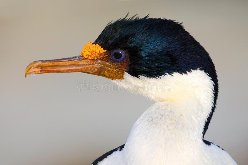 Retrato del detalle del pájaro hermoso Pelusa imperial del pájaro de mar del retrato Detalle del cormorán blanco y negro con el o imagenes de archivo