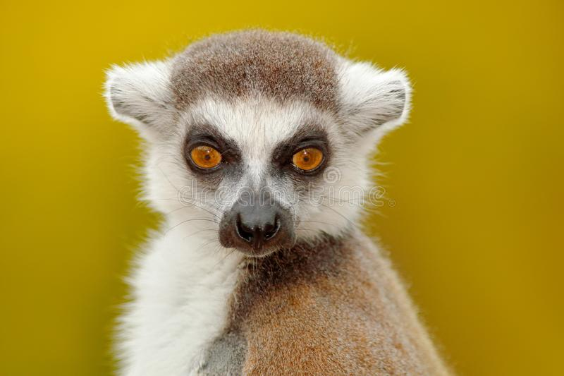 Retrato del detalle del mono lindo Retrato del lémur Anillo-atado, catta del lémur, con el fondo claro amarillo Animal de Madagas fotografía de archivo
