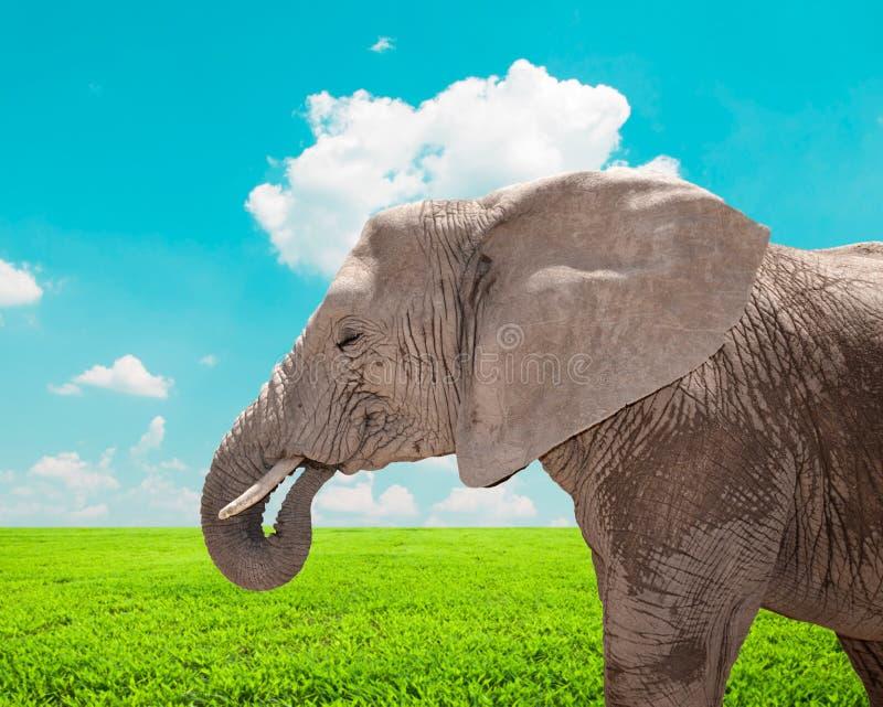 Retrato del elefante africano enorme en naturaleza imagen de archivo