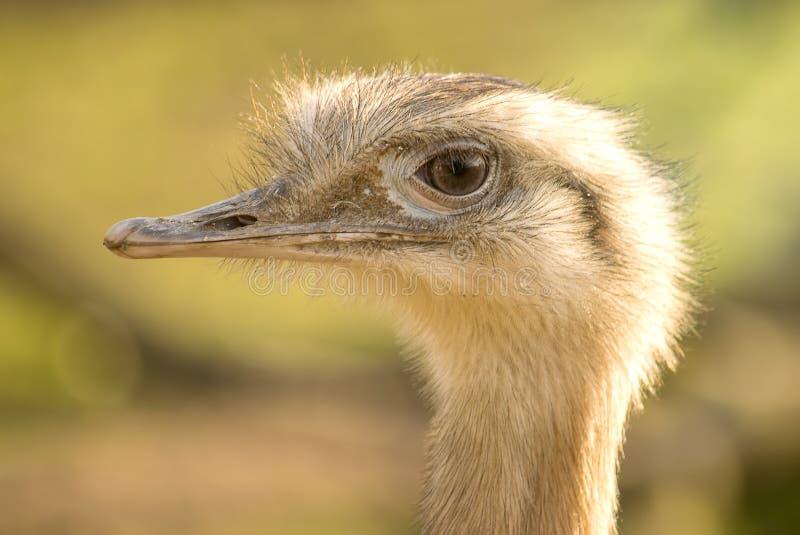 Retrato del emú del primer fotos de archivo