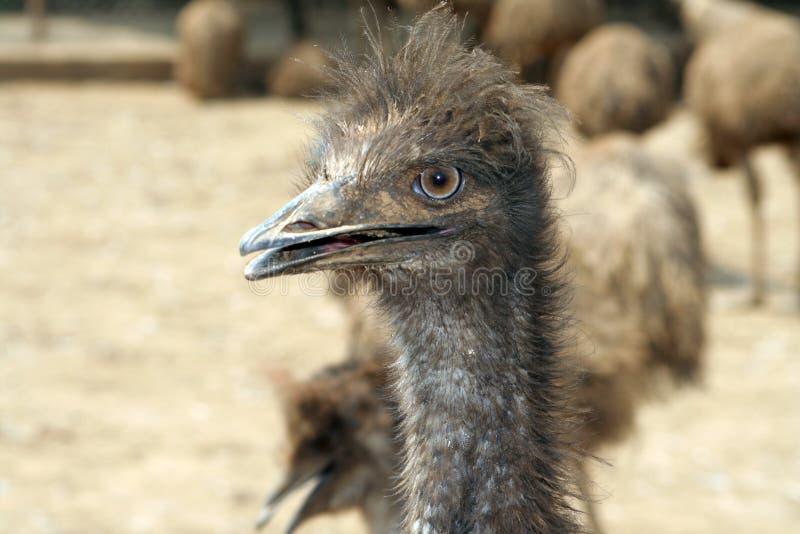 RETRATO DEL EMU fotografía de archivo