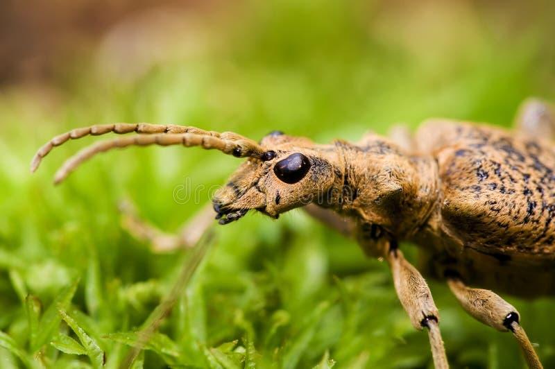Retrato del escarabajo del fonolocalizador de bocinas grandes foto de archivo libre de regalías