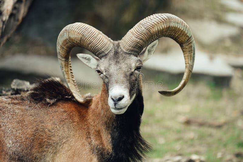 Retrato del espolón/de la cabra del mouflon foto de archivo libre de regalías