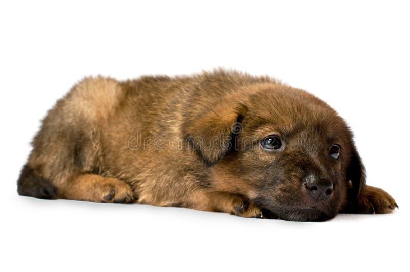 Retrato del estudio de un perrito admirable imagen de archivo