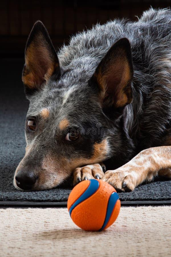 Retrato del estudio de un perro azul tri coloreado hermoso de Heeler imagen de archivo libre de regalías