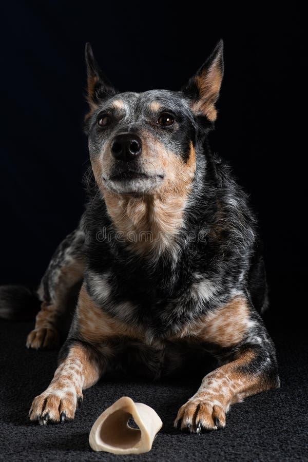 Retrato del estudio de un perro azul tri coloreado hermoso de Heeler fotos de archivo libres de regalías
