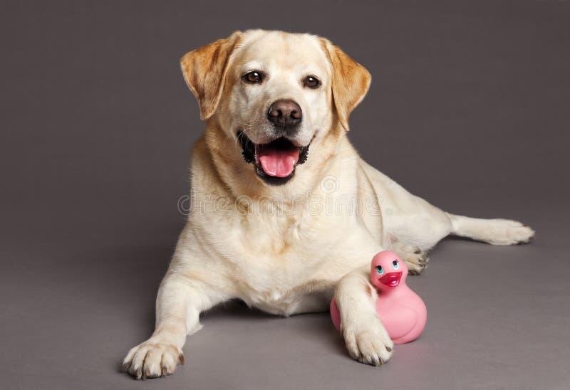 Retrato del estudio del perro de Labrador con el pato del juguete